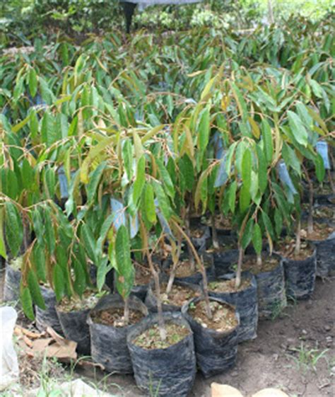 Jual Bibit Itik Samarinda jual bibit durian unggul jual bibit durian di samarinda
