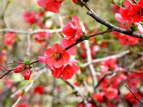 imagenes de rosas japonesas flowers quot quot 10 flores japonesas quot