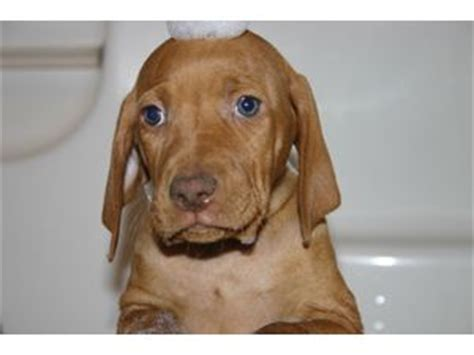 vizsla puppies for sale in michigan vizsla puppies for sale