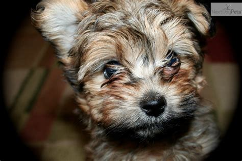 yorkie poo pictures grown teacup dogs yorkie image search results breeds picture