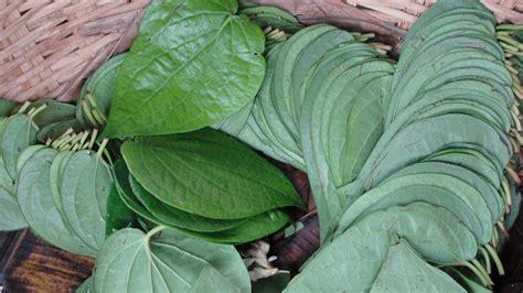 manfaat daun sirih  kesehatan  kecantikan