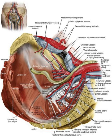 c section nerve damage surgical anatomy of the pelvis and the anatomy of pelvic