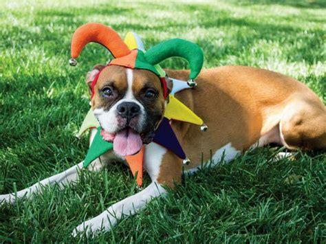 diy jester dog costume  halloween hgtv