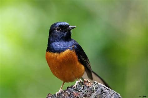 Burung Murai Batu Medan Asli 6 tips membeli burung murai batu medan yang bagus satu jam