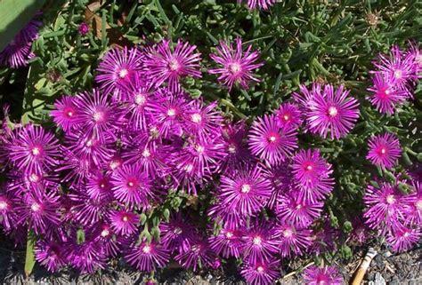 pianta grassa fiori fucsia piante grasse