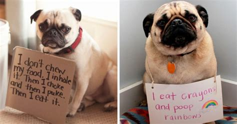 pugs being 15 guilty pugs being shamed for their pug crimes