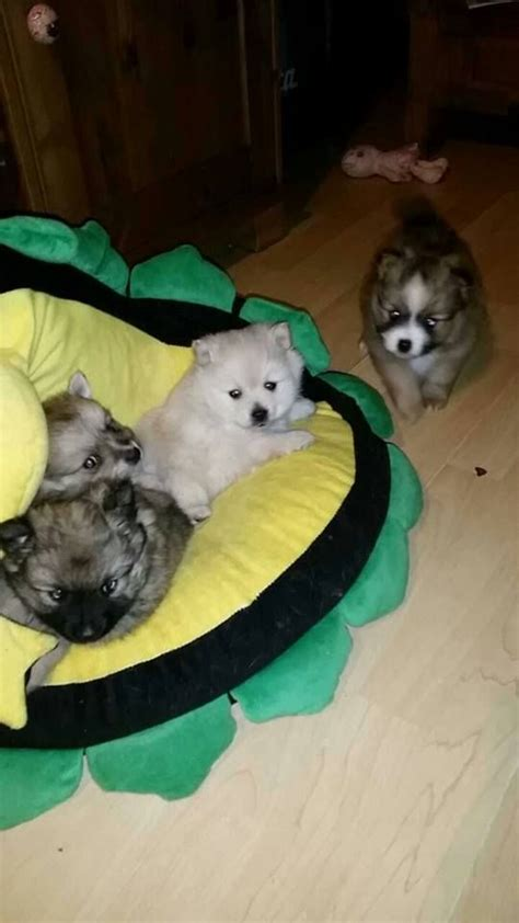 beautiful pomeranian puppies for sale beautiful litter of pomeranian puppies for sale middlesex pets4homes