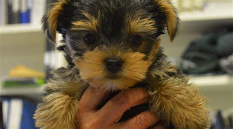 yorkie blindness miniature terrier 2017