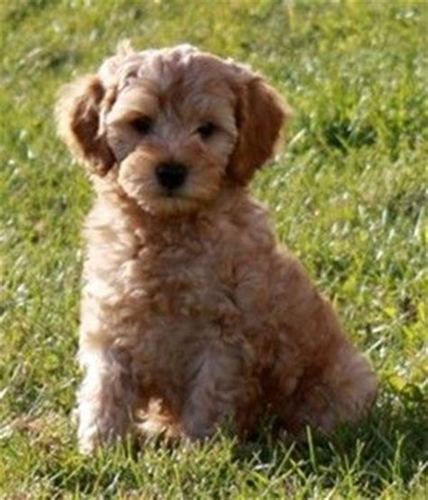 goldendoodle puppy breeders in colorado 1000 images about honden on
