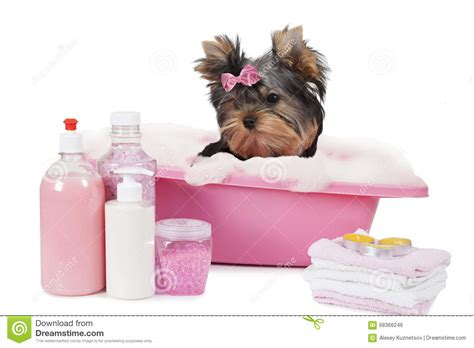 bathing yorkies terrier bathing in a bath stock photo image 68366246