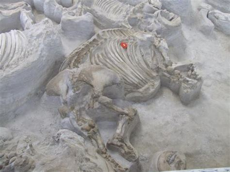 ashfall fossil beds articulated rhino skeletons picture of ashfall fossil
