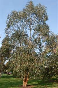 eucalyptus trees eucalyptus gigantea landscape architect s pages