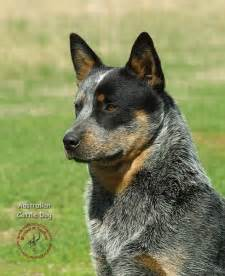 australian cattle colors blue heeler australian cattle they are so gorgeous