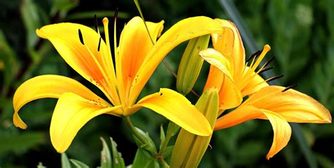 free photo lily flowers early flower free image on pixabay 1512813