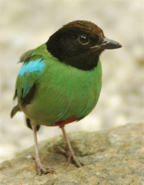 list of birds of thailand