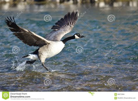 taking a to canada canada geese taking to flight from the river stock photo image 69272984