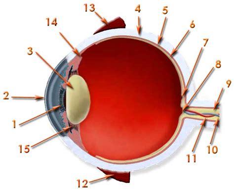 imagenes de los ojos y sus partes tareas partes del ojo imagenes