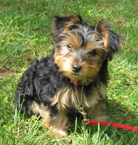 6 month yorkie pictures pictures