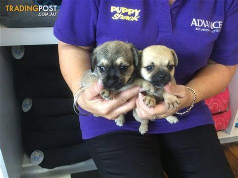 pug puppies for sale in brisbane pugster puppies at puppy shack brisbane for sale in brisbane qld pugster puppies at