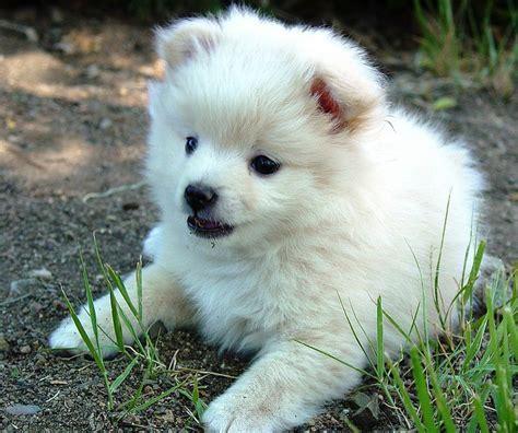 half pomeranian half poodle puppies white pomeranian half poodle puppy everything