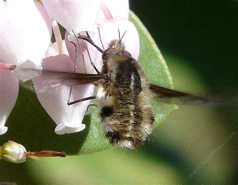 california native bees flies beeflies wasps  bumblebees