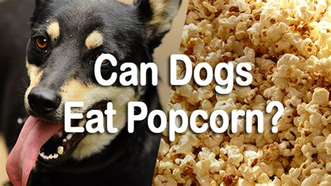 can dogs eat popcorn can dogs eat popcorn pet consider