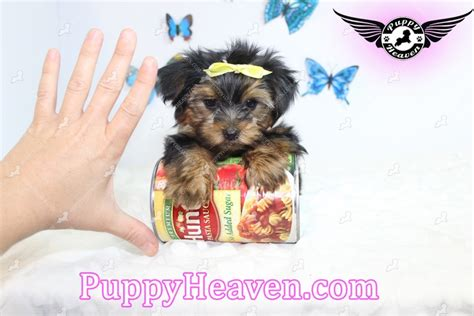 teacup yorkies for sale in las vegas teacup yorkie puppies for sale in henderson nv