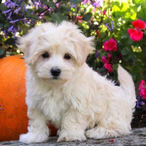 maltipoo puppies for sale ny maltipoo puppies for sale in pa md ny nj greenfield puppies breeds picture