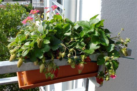 balkon überdachungen erdbeeren pflanzen balkon home design magazine