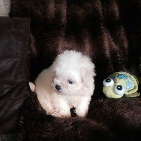 adopt a maltese puppy for free and maltese puppies for free adoption offer