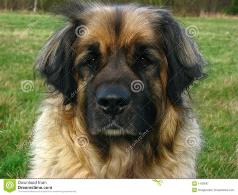 leonberger puppies price leonberger lose up stock image image of canines large 4130647