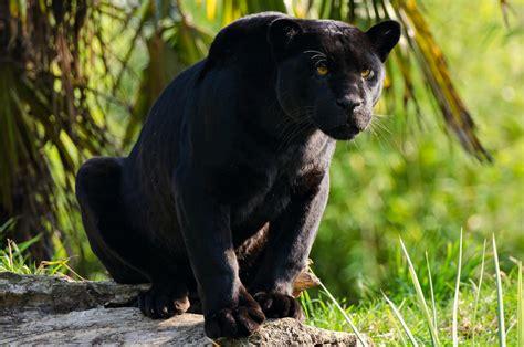 rainforest animals jaguar facts rainforest animals black jaguar