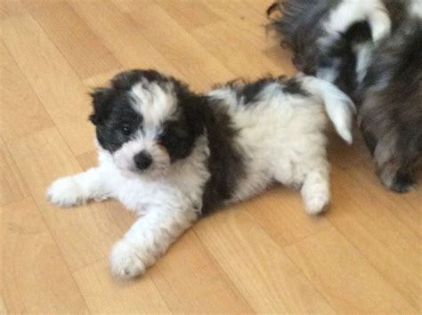 shih tzu x chihuahua for sale shih tzu x chihuahua puppies ready for new home gravesend kent pets4homes