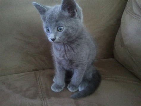 blue kittens for sale russian blue kittens vaccine warm peterborough