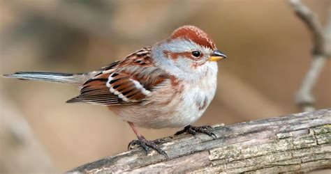 american tree sparrow life history all about birds