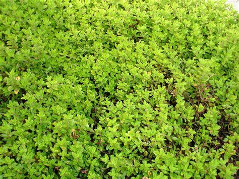 Garden Thyme by Bay Area Garden Garden Desktop Lime Thyme