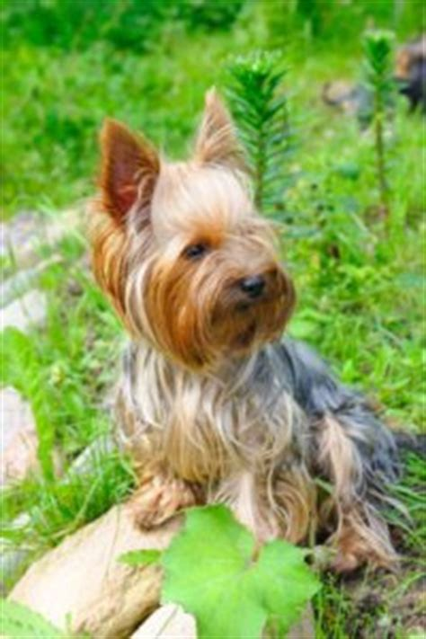understanding yorkie behavior yorkie behavior problems