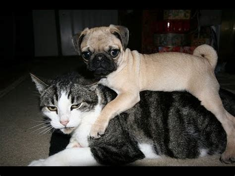 pug and cat cats and dogs pugs and cats pets adoption
