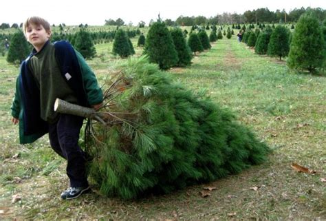 cut your own christmas tree farms in southern california