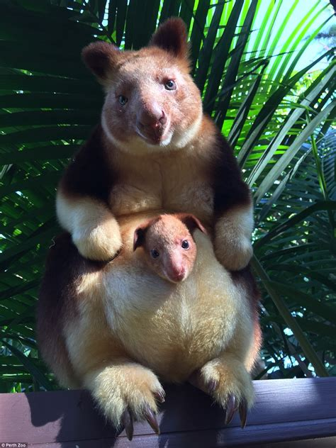 new year animal born 2010 baby tree kangaroo pokes his out s pouch