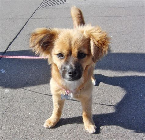 dachshund pomeranian chihuahua mix of the day zoey the pom chihuahua dachshund mix puppy the dogs of san