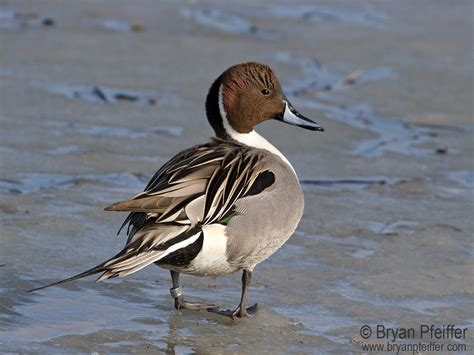 duck pictures better a duck northern pintail bryan pfeiffer