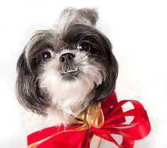 underbite shih tzu 1000 images about shih tzu on shih tzu shih tzu puppy and shih tzu