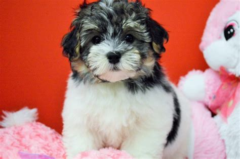 tri color havanese royal flush havanese puppies for sale tri colored 2 ready now