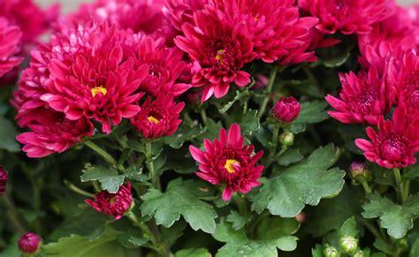 el crisantemo y la 8420653705 definici 243 n de crisantemo 187 concepto en definici 243 n abc