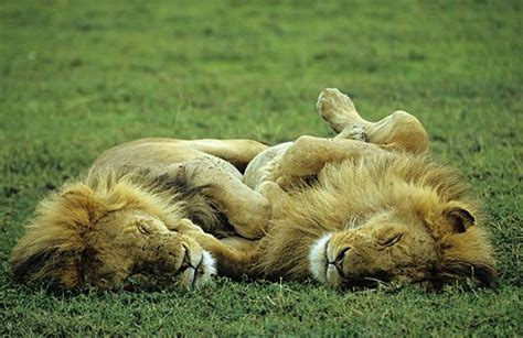 imágenes de leones juntos seis leones echando la siesta juntos animales en video
