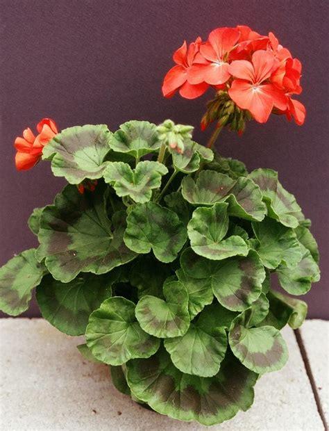 zonal geranium umass amherst greenhouse crops and