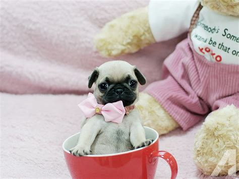 teacup pug grown adorable as a button micro teacup pug puppy for sale in chicago illinois