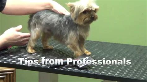 how to groom yorkies how to groom a terrier quot yorkie quot puppy cut