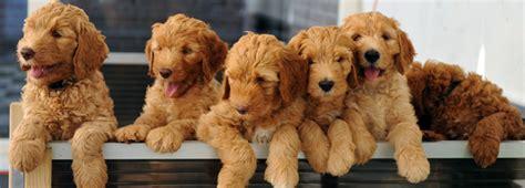 goldendoodle puppy kopen labradoodle pup kopen